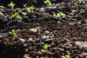 Plants sprout from soil